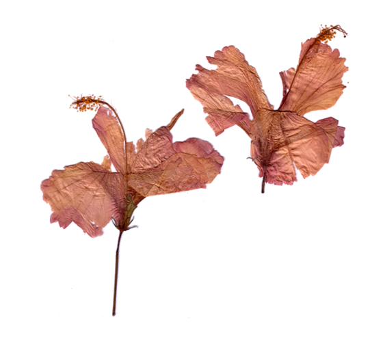 FLO-FLO - Florence Boudet - ocean - pacific - polynesia - tahiti - friend - dried flower - hibiscus - letter