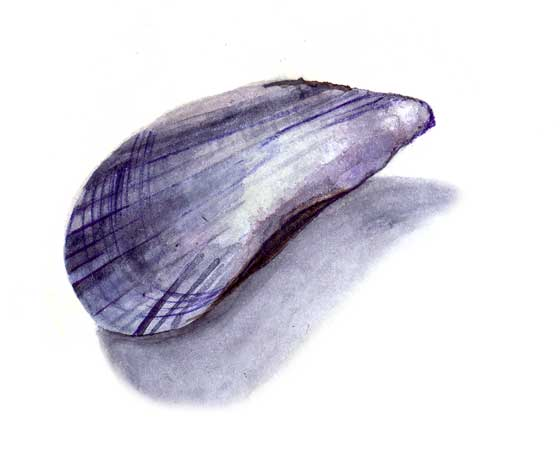 Florence Boudet - FLO-FLO - drawing - watercolor - mussels - seashell - empty - shore - delicate