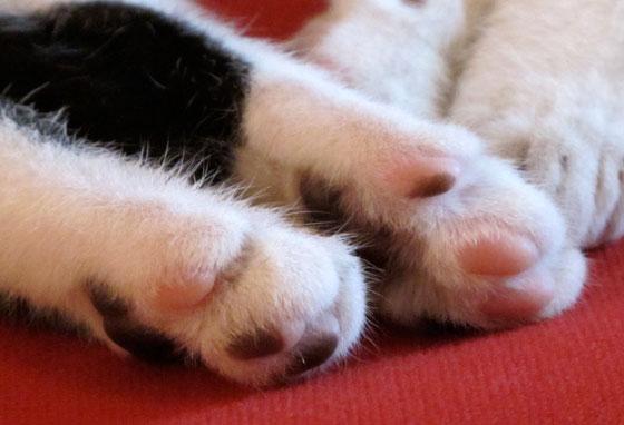 delta chaton noir et blanc coussinets bicolores